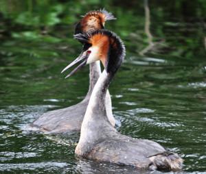 Paringsdans van futen. Foto: cormastwijkfotografie.com